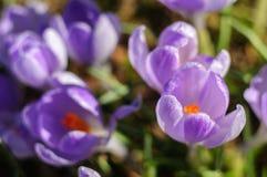 Açafrão roxo da mola na grama verde no dia ensolarado Imagens de Stock