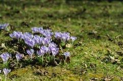 Açafrão roxo da mola na grama verde no dia ensolarado Fotos de Stock Royalty Free