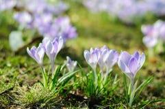 Açafrão roxo da mola na grama verde no dia ensolarado Imagens de Stock Royalty Free