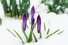 Açafrão roxo das flores delicadas cândidos na neve Fotos de Stock Royalty Free