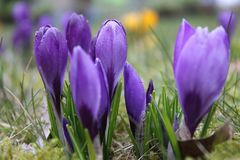 Açafrão roxo de florescência na mola Imagens de Stock Royalty Free