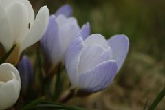 Açafrão roxo de florescência na mola Foto de Stock Royalty Free