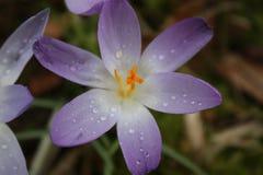 Açafrão roxo de florescência na mola Fotografia de Stock Royalty Free