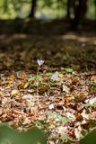 Açafrão roxo do outono contra o fundo das folhas de outono Fotografia de Stock