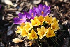 Açafrão roxo e amarelo Imagem de Stock