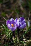 Açafrão roxo e branco bonito no jardim Flores frescas da mola Imagens de Stock