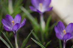 Açafrão roxo - flores frescas da mola Imagens de Stock Royalty Free