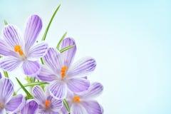 Açafrão roxo - flores frescas da mola Fotografia de Stock