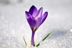 Açafrão roxo fresco na neve imagem de stock