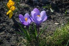 Açafrão roxo liso na luz solar adiantada da mola Imagem de Stock