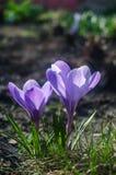 Açafrão roxo liso na luz solar adiantada da mola Fotografia de Stock