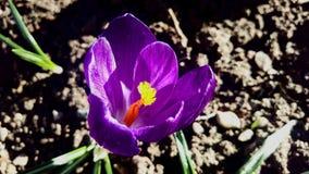 Açafrão roxo - macro da flor Fotos de Stock