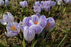 Açafrão roxo na flor da mola Foto de Stock