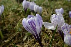 Açafrão roxo na flor da mola Fotografia de Stock