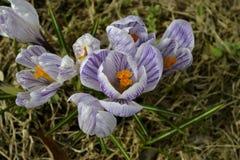 Açafrão roxo na flor da mola Fotografia de Stock Royalty Free