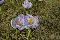 Açafrão roxo na flor da mola Fotos de Stock Royalty Free