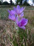 Açafrão roxo na flor na Foto de Stock Royalty Free