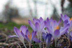Açafrão roxo na mola Açafrões de florescência no esclarecimento Imagens de Stock Royalty Free