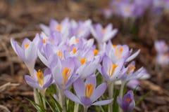 Açafrão roxo na mola Açafrões de florescência no esclarecimento Foto de Stock