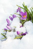 Açafrão roxo na neve branca Fotos de Stock Royalty Free
