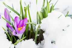 Açafrão roxo na neve branca Foto de Stock Royalty Free