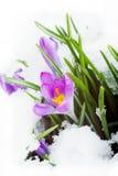 Açafrão roxo na neve branca Fotografia de Stock Royalty Free