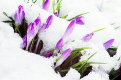 Açafrão roxo na neve branca Imagens de Stock Royalty Free