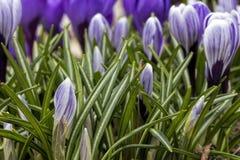 Açafrão roxo nas folhas verdes Fotografia de Stock Royalty Free