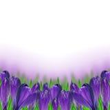 Açafrão roxo Fotografia de Stock