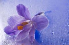 Açafrão roxo no fundo molhado azul Imagem de Stock Royalty Free