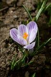 Açafrão roxo no jardim Imagens de Stock
