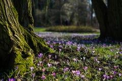 Açafrão roxo no parque Foto de Stock Royalty Free