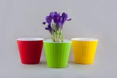 Açafrão roxo no potenciômetro verde e em dois vasos de flores plásticos coloridos vazios Fotografia de Stock Royalty Free