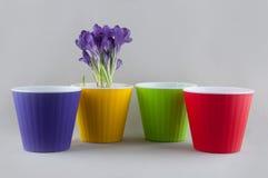 Açafrão roxo no vaso de flores amarelo e em uns potenciômetros plásticos coloridos Imagem de Stock