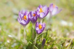 Açafrão roxo primeiramente de florescência da mola no prado da grama, Áustria Fotografia de Stock