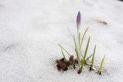 Açafrão roxo que cresce através da neve Foto de Stock