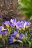Açafrão roxo que cresce da terra fora Fotografia de Stock