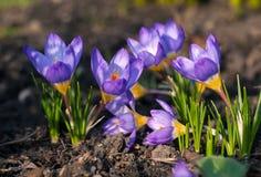 Açafrão roxo que cresce da terra fora Imagens de Stock
