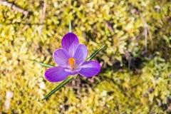 Açafrão roxo que cresce fora entre o musgo Fotos de Stock