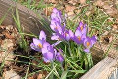 Açafrão roxo que floresce durante a primavera Fotos de Stock Royalty Free