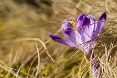 Açafrão roxo que floresce na grama amarela Fotografia de Stock