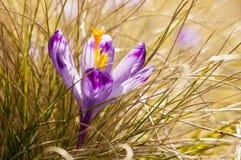 Açafrão roxo que floresce na grama amarela Imagem de Stock Royalty Free