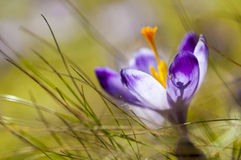Açafrão roxo que floresce na grama amarela Imagens de Stock