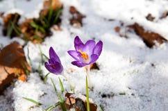 Açafrão roxo que floresce na neve Foto de Stock Royalty Free