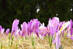 Açafrão sativus Imagens de Stock