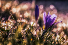 Açafrão sativus Fotografia de Stock Royalty Free