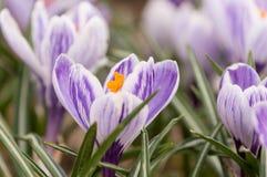 Açafrão sativus do açafrão roxo - ideia do crescimento de flores de florescência da mola nos animais selvagens Imagem de Stock