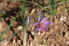 Açafrão sativus, o perfil da flor Imagem de Stock