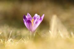 Açafrão selvagem bonito Imagem de Stock Royalty Free