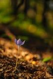 Açafrão selvagem bonito, autumnale do Colchicum, flores em uma floresta da montanha Foto de Stock Royalty Free
